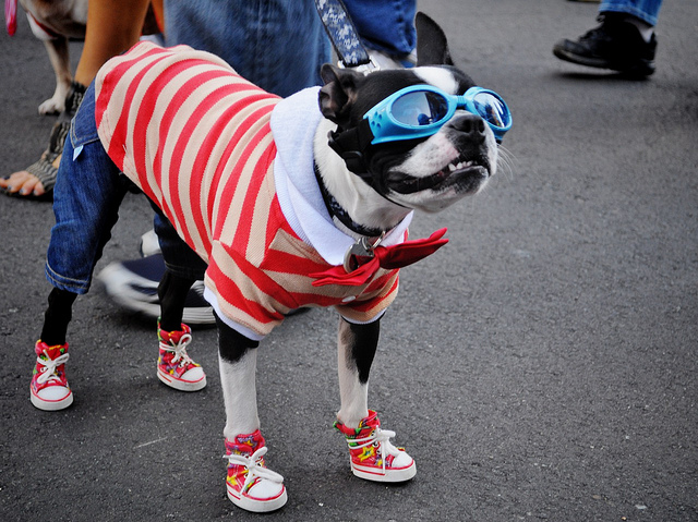 Dog dressed up in clothes wearing goggles